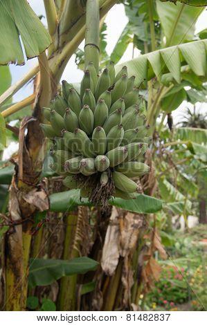 Small Green Bananas On The Tree