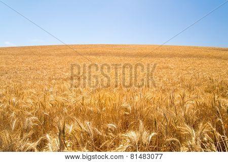 Sunshine On Wheat