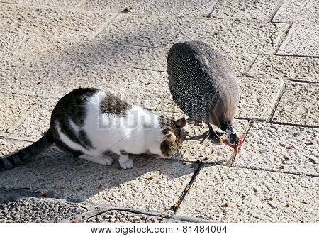 Friendship Between Cat And Guinea Fowl