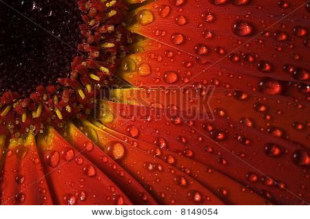 Dew On A Red Gerbera