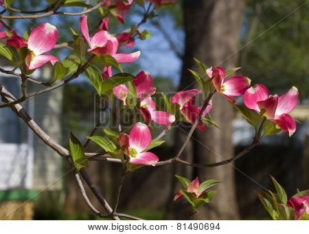 Red Spring Dogwood Blossoms - Cornus florida