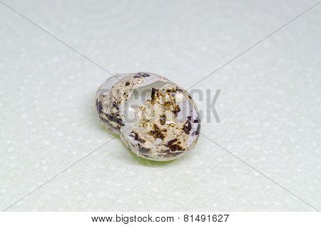 Quail Egg Shell