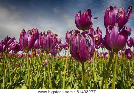 Spring Blooming With Tulip Flowers