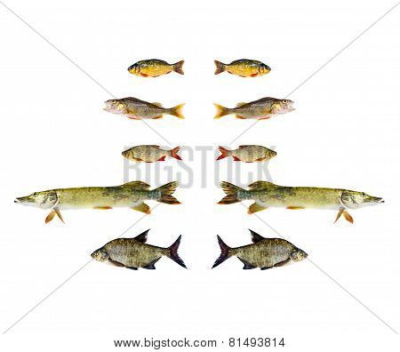 Various Freshwater Fish Isolated On White Background