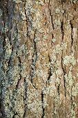 image of lichenes  - Pine - JPG