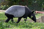 foto of tapir  - tapir foraging for food in the day - JPG