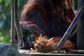 picture of orangutan  - adult orangutan in captivity lying down resting - JPG