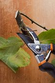 foto of prunes  - Branch with leaves and pruning shears  - JPG