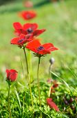 picture of windflowers  - Wild red anemone coronaria (windflower) flowers blooming in the Galilee Israel after the winter rains