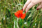 pic of fingernail  - finger with red fingernail touching a blooming poppy flower - JPG