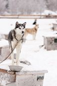 pic of sled-dog  - Chained Sled Dogs Standing on Roofs of Dog Houses Outdoors in Winter - JPG