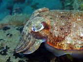 pic of cuttlefish  - The surprising underwater world of the Bali basin - JPG