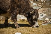 pic of yaks  - Close up wild yak in Himalaya mountains - JPG