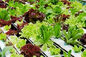 pic of hydroponics  - Hydroponic green vegetables - JPG