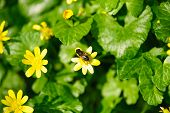 picture of naturel  - Bee pollen on yellow buttercup flowers close up - JPG