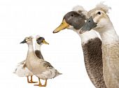 stock photo of crested duck  - Close-up headshot of Male and Female Crested Ducks 3 years old standing in front of white background ** Note: Shallow depth of field - JPG
