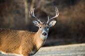 image of deer rack  - Whitetailed deer buck in a meadow in Jefferson Barracks National Cemetery near St - JPG