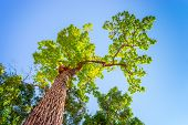 stock photo of redwood forest  - The Biggest Tree in the forest at the morning - JPG