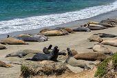 stock photo of sea lion  - California sea lions on the beach - JPG
