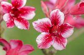image of desert-rose  - Closeup of Pink Bigononia or Desert Rose  - JPG