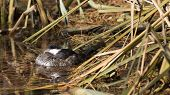 picture of shoreline  - a duck settles in for a nap among reeds and grasses of the shoreline - JPG