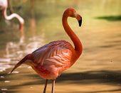 foto of flamingo  - pink flamingo - JPG