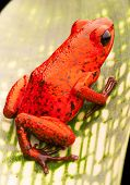 picture of poison dart frogs  - red poison dart frog - JPG