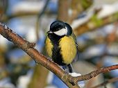 picture of tit  - Great Tit resting on a branch in its habitat - JPG