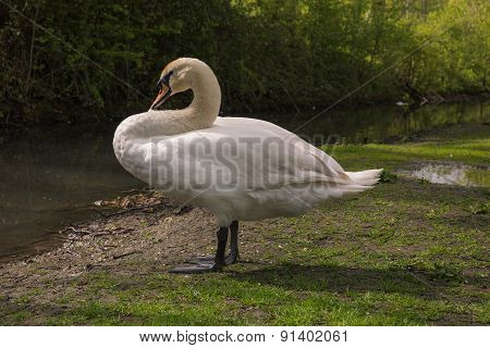 Photo A White Swan On The River Bank In Arundel, English Country Side In West Sussex