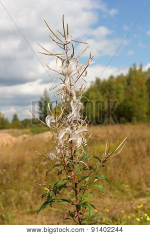 Autumn Landscape. Dry Flower Fireweed On A Blurred Background.