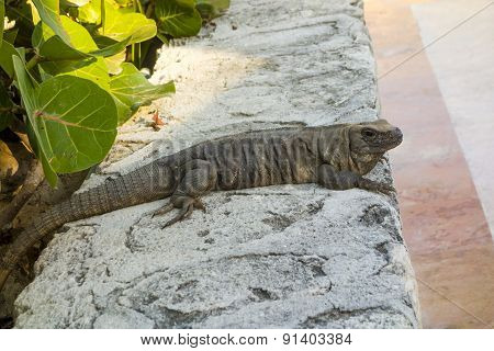 Mexican Iguana During Evening Hunting Hour