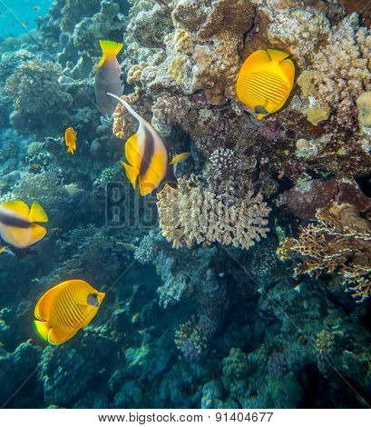 Butterflyfish of read sea