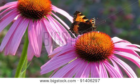A butterfly stretching out on a purple flower