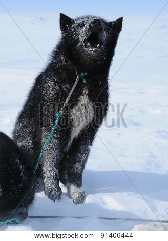 The black sled dog howling.
