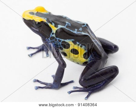 blue yellow poison frog on white Dendrobates tinctorius a poisonous animal from the Amazon rainforest in Suriname. Macro of a small amphibian.