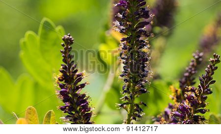 False Indigo Bush. Amorpha fruticosa. Small Purple Blooms.