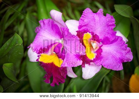 Purple, Pink And Yellow Cattleya Hybrid Orchid Flower, Close Up, Selective Focus