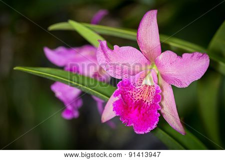 Pik And Purple Cahuzacra Hanh Sang Orchid Flower On Dark Background, Selective Focus