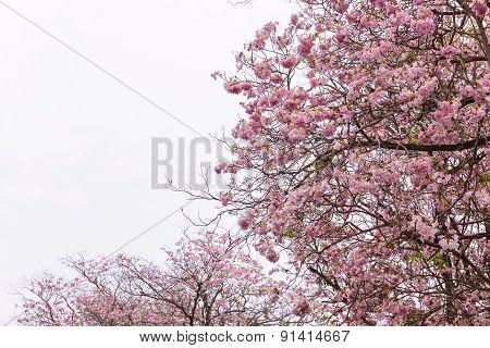 Flower Tree In Pink Color Blooming, Pink Trumpet Tree