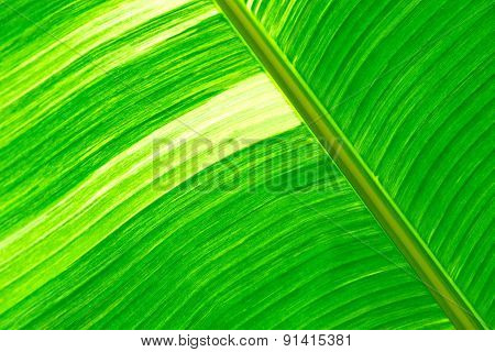 Green fresh banana leaf textured and backrounds