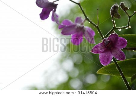 drop of water on purple orchid