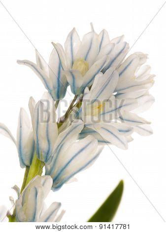 Delicate Flower Puschkinia Niatsintnoides