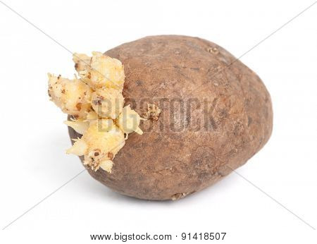 Potatoes with sprouts isolated on white background
