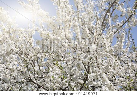 Blossoming Cherry In The Cherry Orchard In The Spring