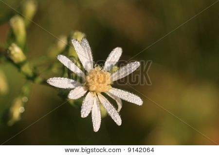 Dew Covered Miniature Daisy