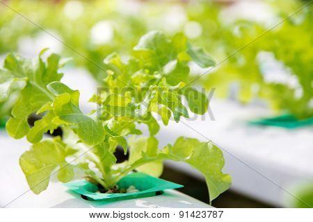 Hydroponics vegetable farm