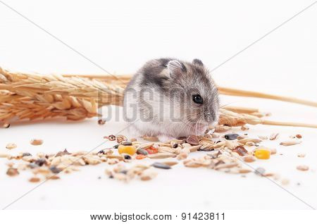 The Hamster Eats A Forage In An Environment Of Ears On A White Background