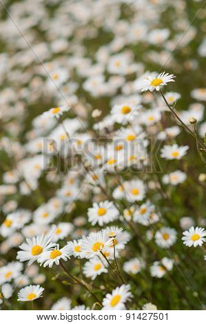 Yellow & white wild daisy flowers in meadow or garden with shallow depth of focus