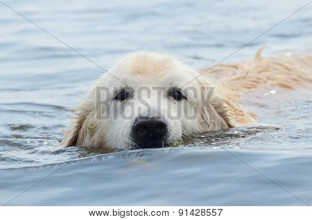 Portrait of swimming golden retriever - hunting dog