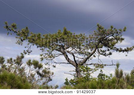 Tree Of Pine